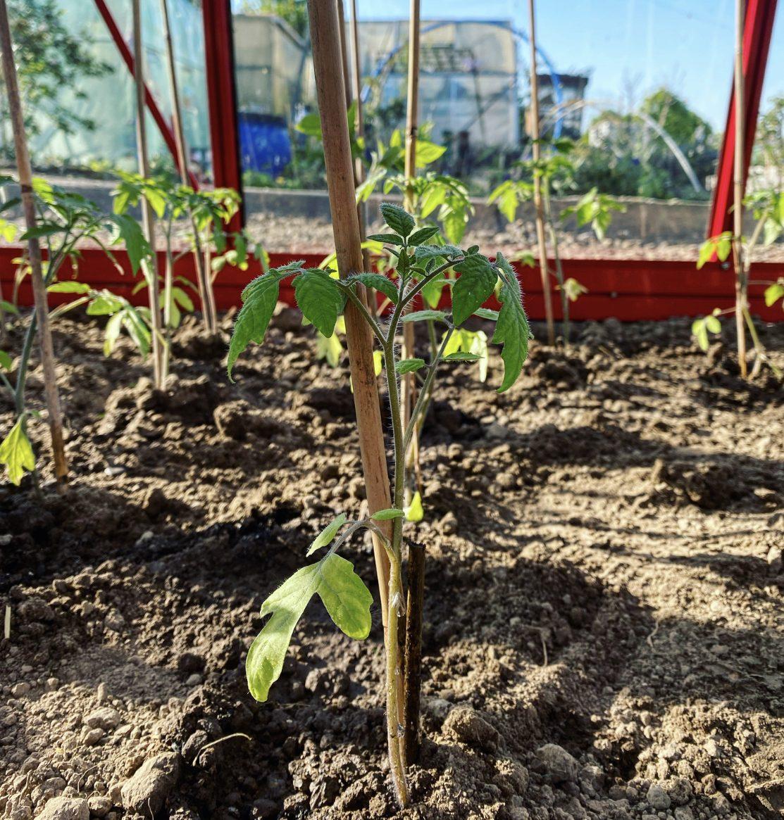 De eerste tomaten in de hobbykas