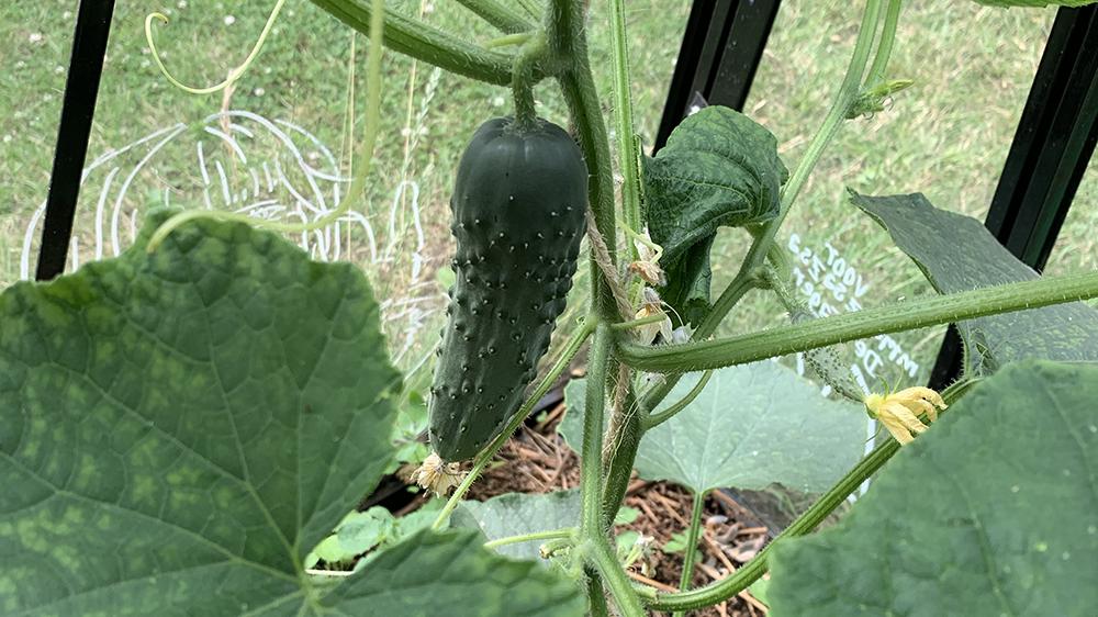 6 Komkommers